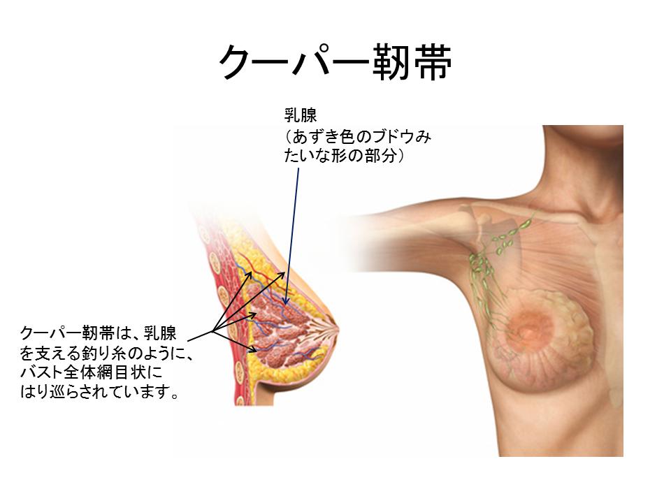 育乳実践するためのクーパー靭帯とは