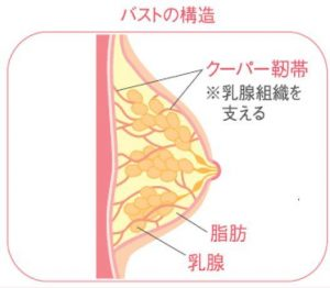 バスト組織のクーパー靭帯