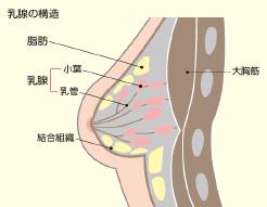 乳腺の量でバストアップは決まる